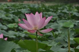 image of a lotus flower (padma)